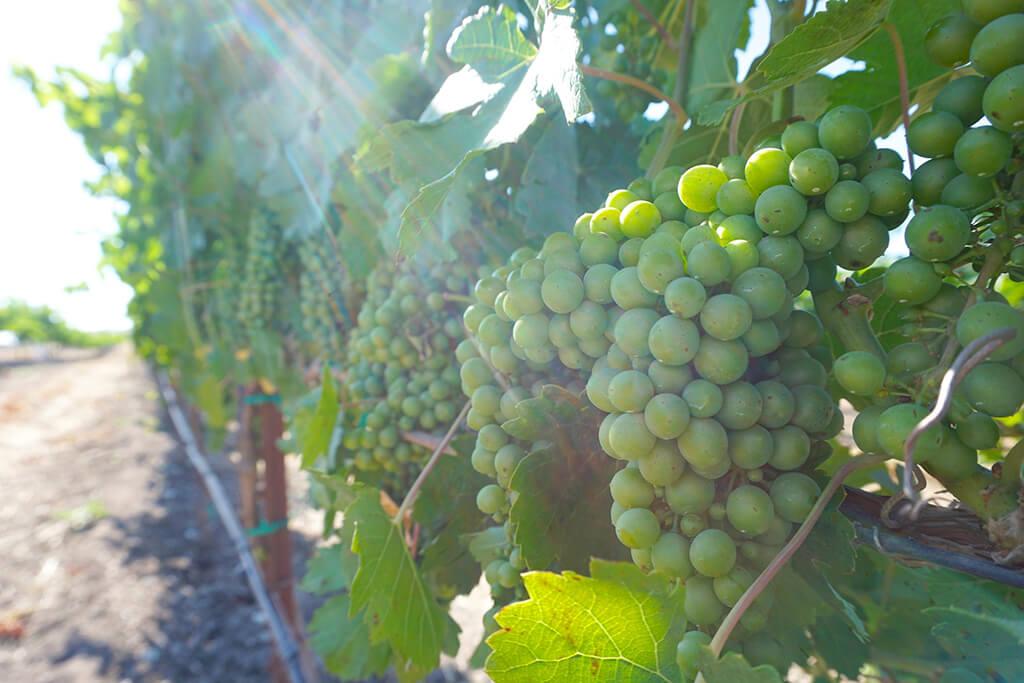 sunlight grapes